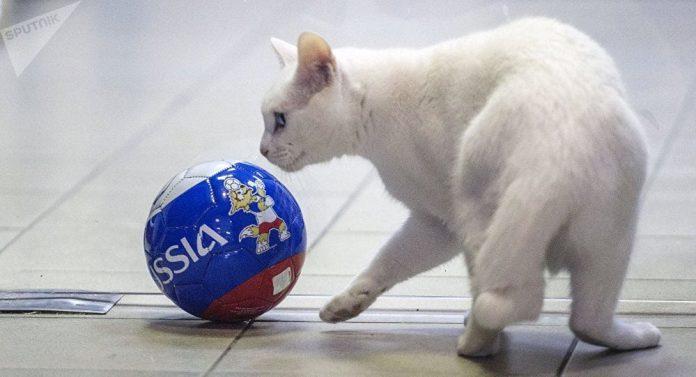 animales que predicen marcadores en apuestas - gato aquiles